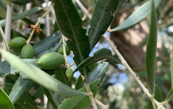 El escarabajo del olivo